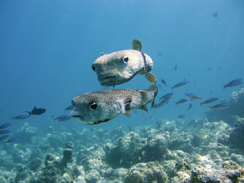 Pictures of Porcupine fish, Palau, Oceania, Palau