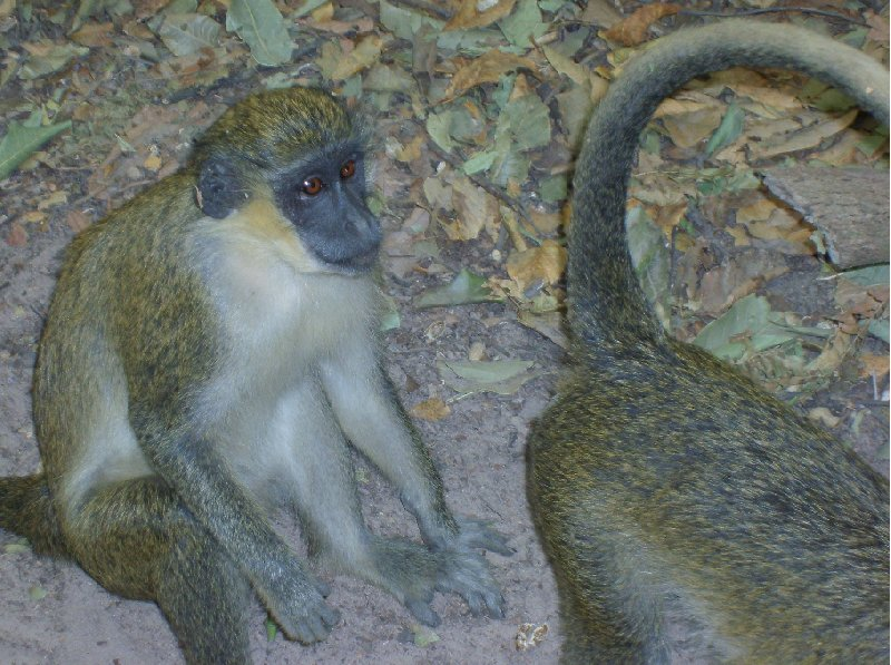 The monkeys in Bijilo Forest Park Bijilo National Park Gambia Diary Pictures