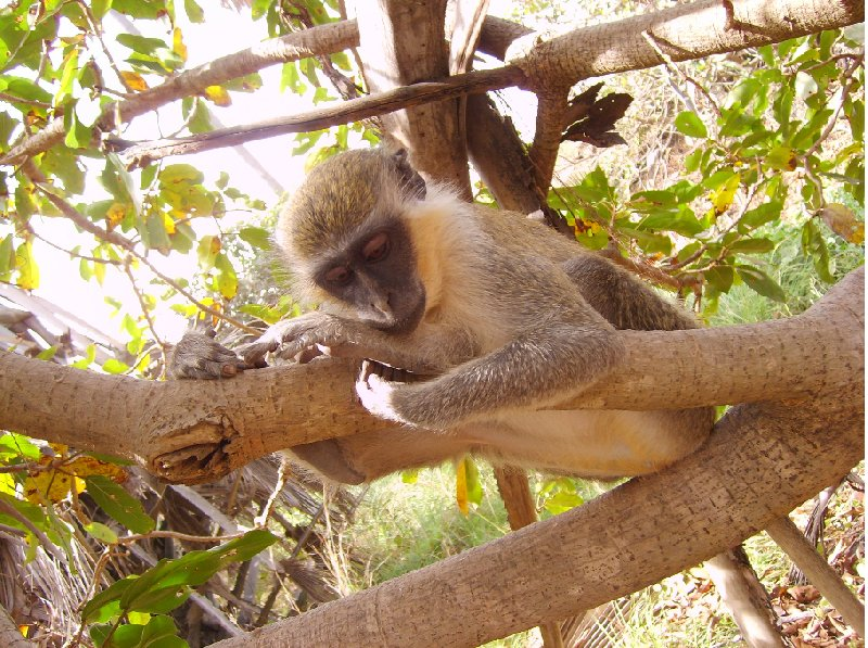 The monkeys in Bijilo Forest Park Bijilo National Park Gambia Diary Tips
