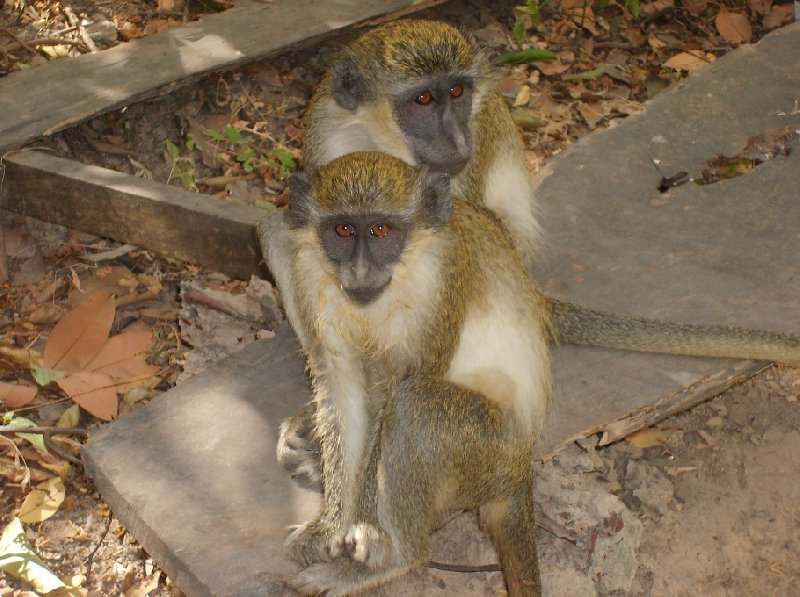 Photo The monkeys in Bijilo Forest Park Gambia
