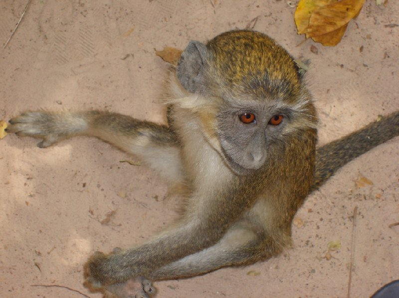 The monkeys in Bijilo Forest Park Bijilo National Park Gambia Travel Picture
