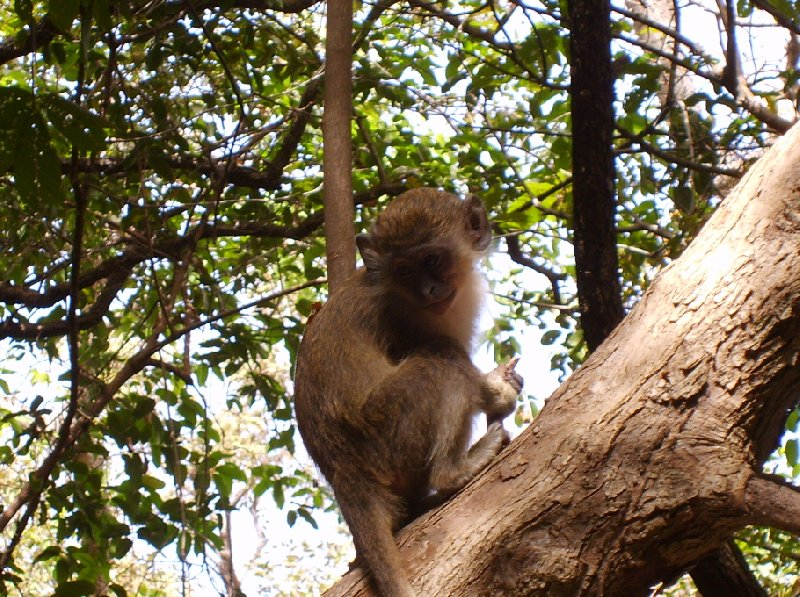 Photo The monkeys in Bijilo Forest Park monkeys