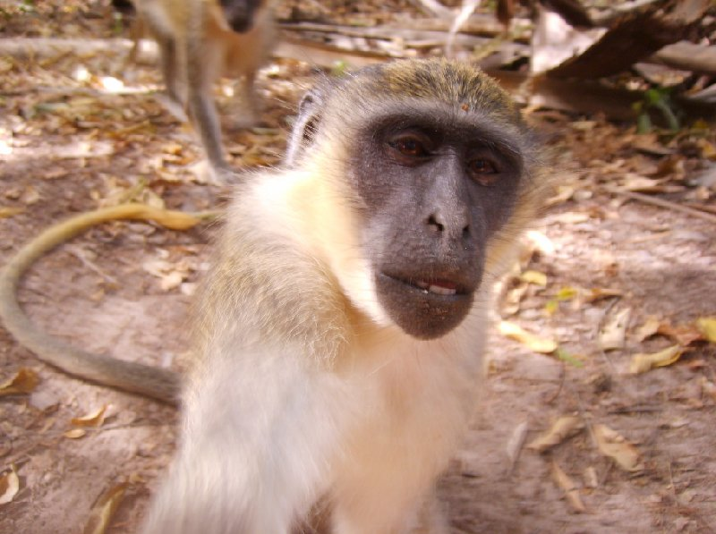 The monkeys in Bijilo Forest Park Bijilo National Park Gambia Holiday Tips