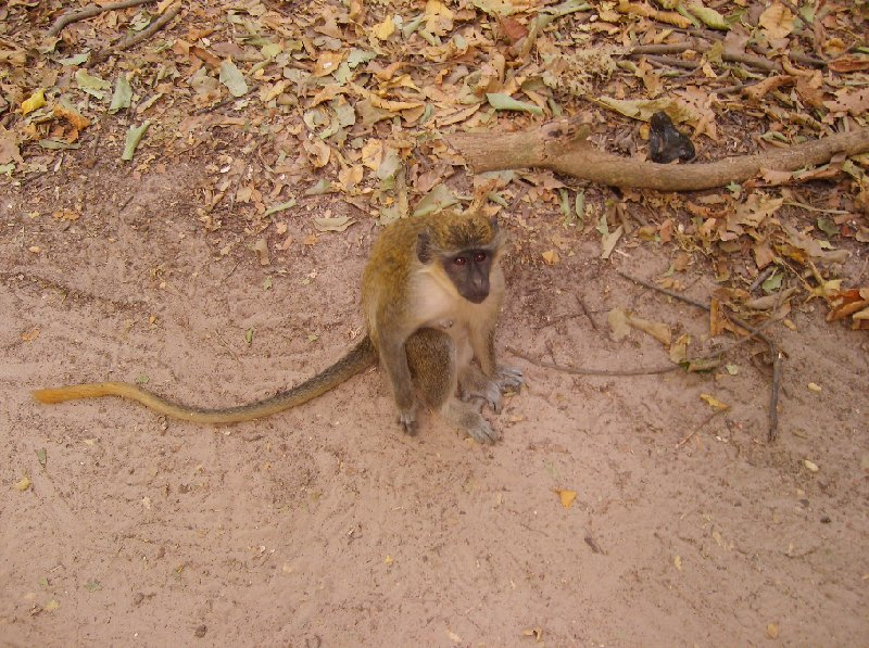 The monkeys in Bijilo Forest Park Bijilo National Park Gambia Trip Photographs