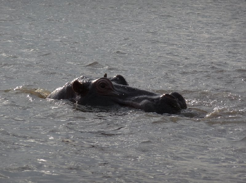 Hippo's in Liwonde National Park Malawi Travel Adventure