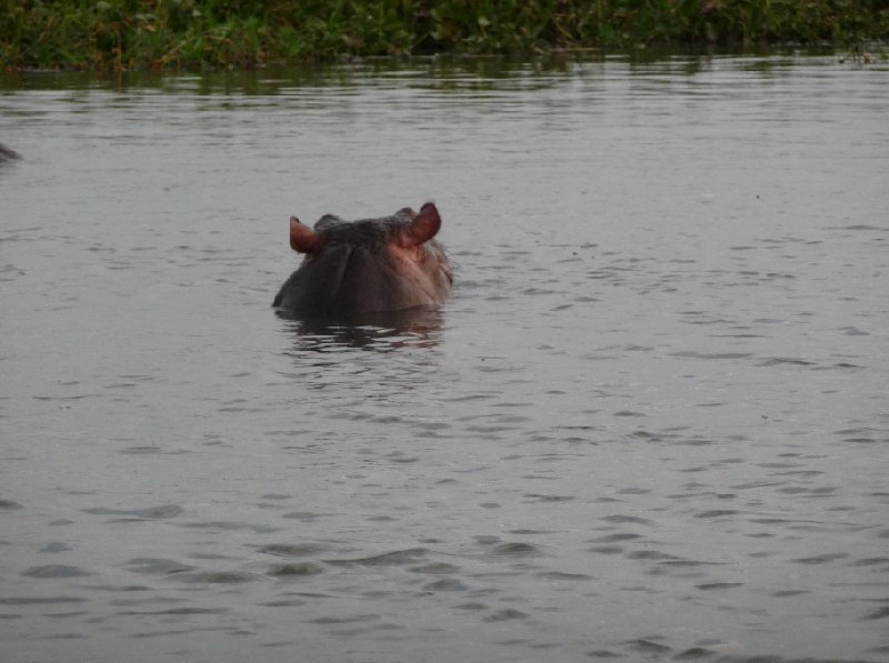 Photo Hippo's in Liwonde National Park creatures