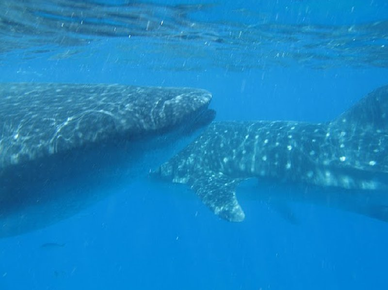 Photo Swimming with Whale Sharks in Mozambique turned