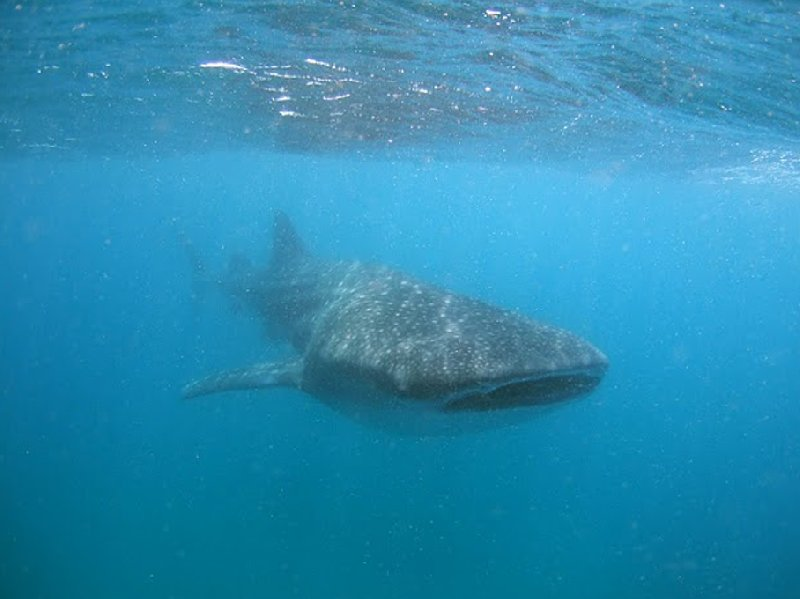 Swimming with Whale Sharks in Mozambique Tofo Travel Picture