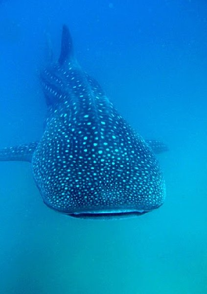 Photo Swimming with Whale Sharks in Mozambique wanted