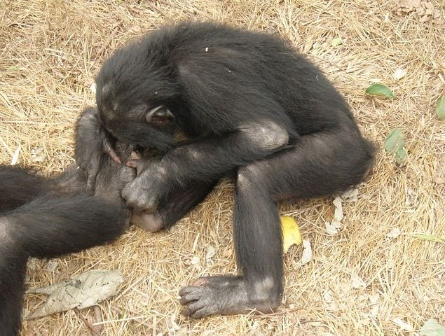 Photo Lola Ya Bonobo sanctuary near Kinshasa sanctuary