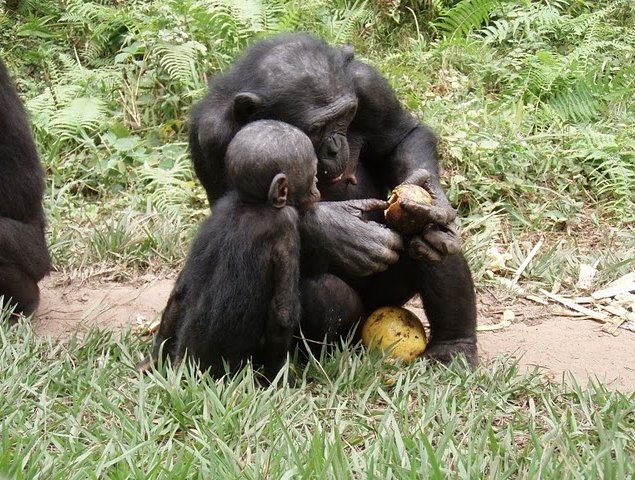 Lola Ya Bonobo sanctuary near Kinshasa Democratic Republic of the Congo Photo Sharing