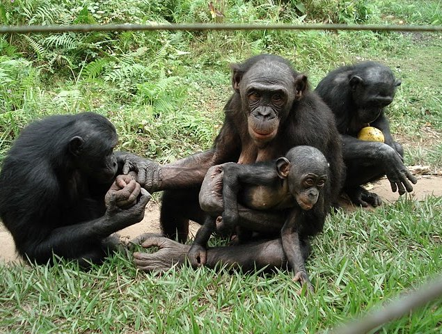 Lola Ya Bonobo sanctuary near Kinshasa Democratic Republic of the Congo Trip Adventure