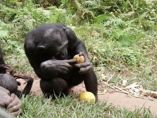 Lola Ya Bonobo sanctuary near Kinshasa Democratic Republic of the Congo Blog Sharing