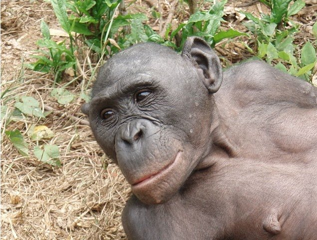 Lola Ya Bonobo sanctuary near Kinshasa Democratic Republic of the Congo Picture Sharing