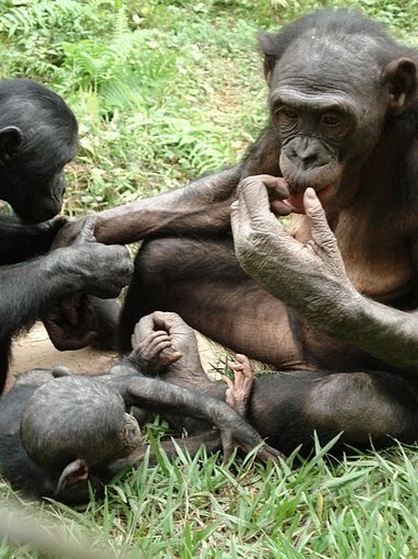 Photo Lola Ya Bonobo sanctuary near Kinshasa Republic