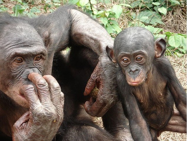 Photo Lola Ya Bonobo sanctuary near Kinshasa orphans