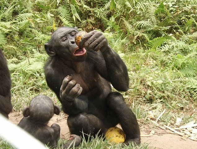 Lola Ya Bonobo sanctuary near Kinshasa Democratic Republic of the Congo Review Picture
