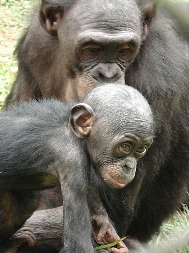 Photo Lola Ya Bonobo sanctuary near Kinshasa infant