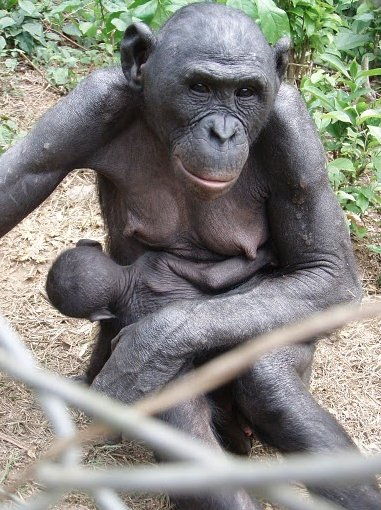 Photo Lola Ya Bonobo sanctuary near Kinshasa orphan
