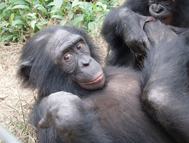 Photo Lola Ya Bonobo sanctuary near Kinshasa population