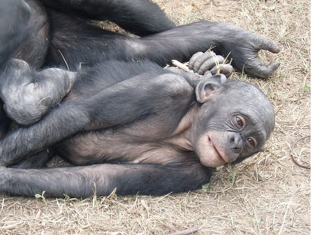 Lola Ya Bonobo sanctuary near Kinshasa Democratic Republic of the Congo Album Pictures