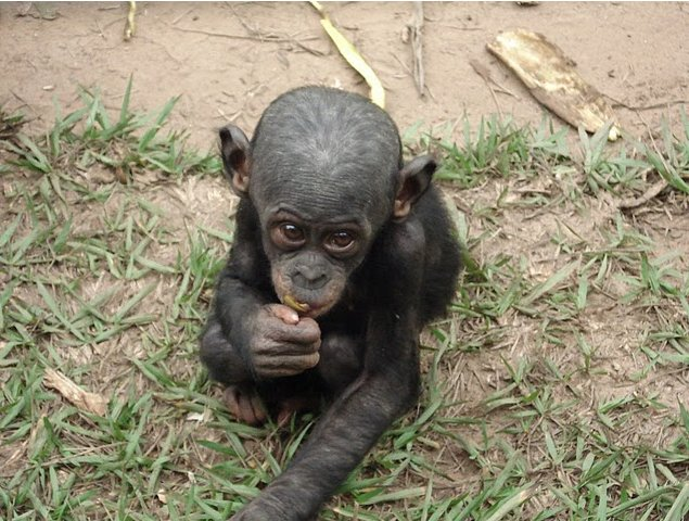 Photo Lola Ya Bonobo sanctuary near Kinshasa Common