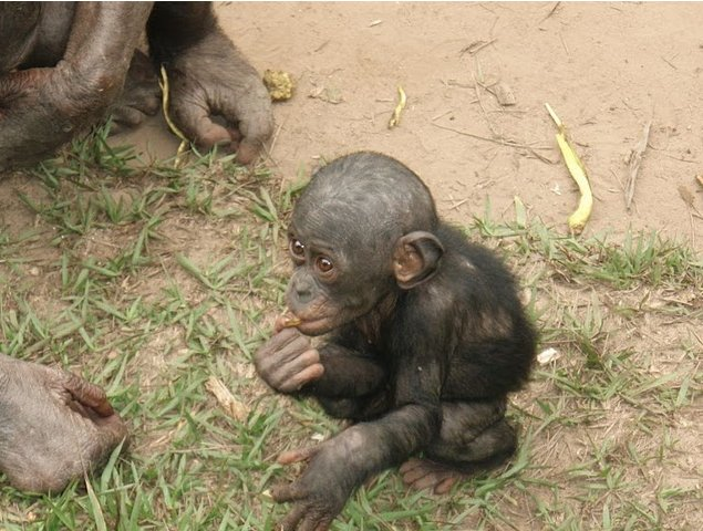 Photo Lola Ya Bonobo sanctuary near Kinshasa Chimpanzee