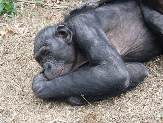 Photo Lola Ya Bonobo sanctuary near Kinshasa closest