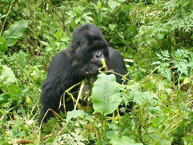 Photo Rwanda Volcanoes National Park Gorilla