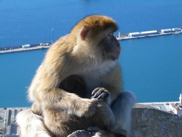 Photo Rock of Gibraltar monkeys considered