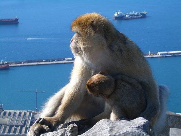 Rock of Gibraltar monkeys Photograph