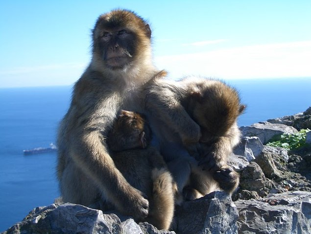Photo Rock of Gibraltar monkeys Barbary