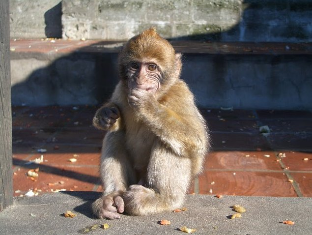 Rock of Gibraltar monkeys Information