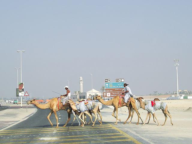 Dubai camels, Dubai United Arab Emirates
