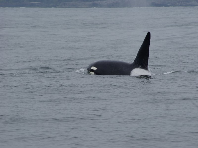 Vancouver Island orca watching Canada Photographs