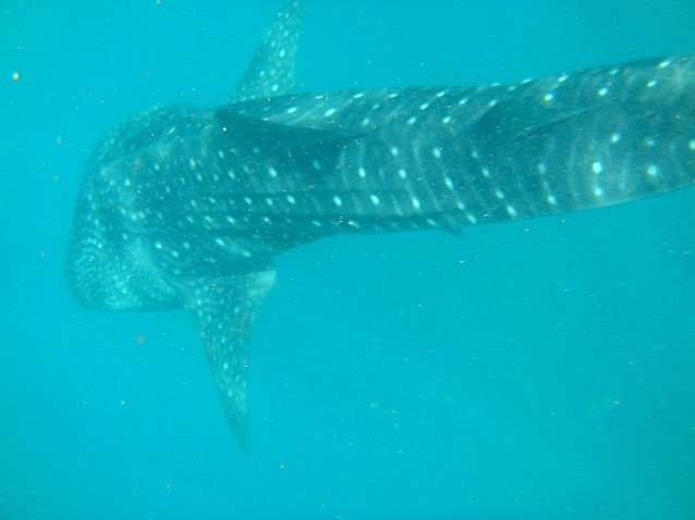 Djibouti whale sharks Vacation Photo