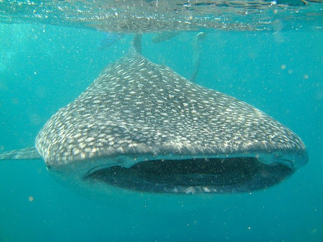 Photo Djibouti whale sharks Gibuti
