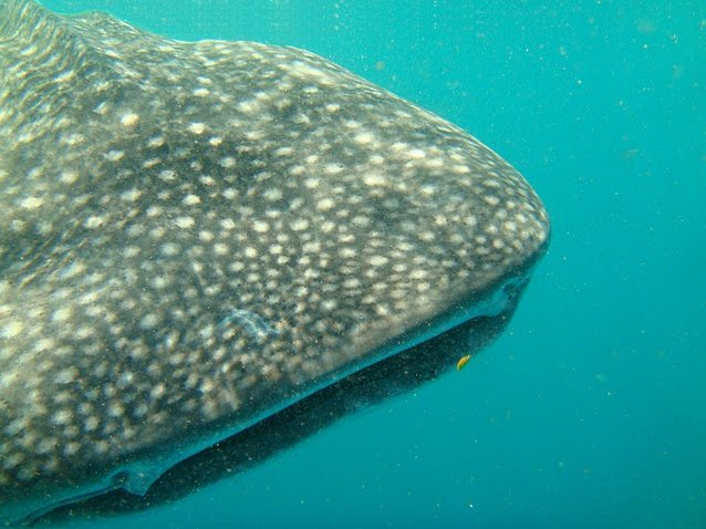 Photo Djibouti whale sharks Africa