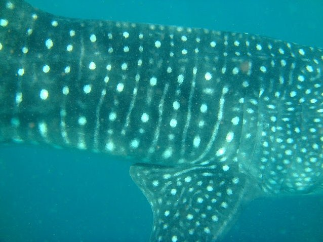 Photo Djibouti whale sharks border