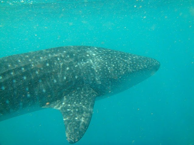 Photo Djibouti whale sharks Before