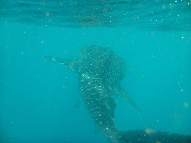 Djibouti whale sharks Blog Review