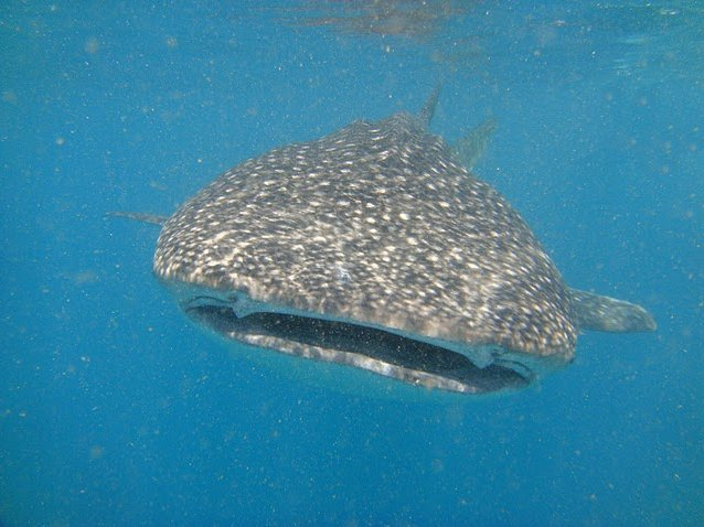 Photo Djibouti whale sharks beautiful
