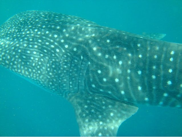 Photo Djibouti whale sharks country