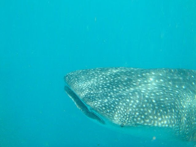 Photo Djibouti whale sharks especially