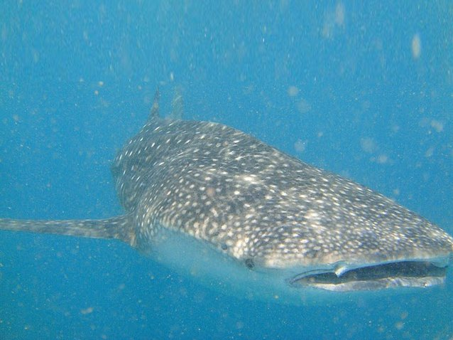 Photo Djibouti whale sharks diving