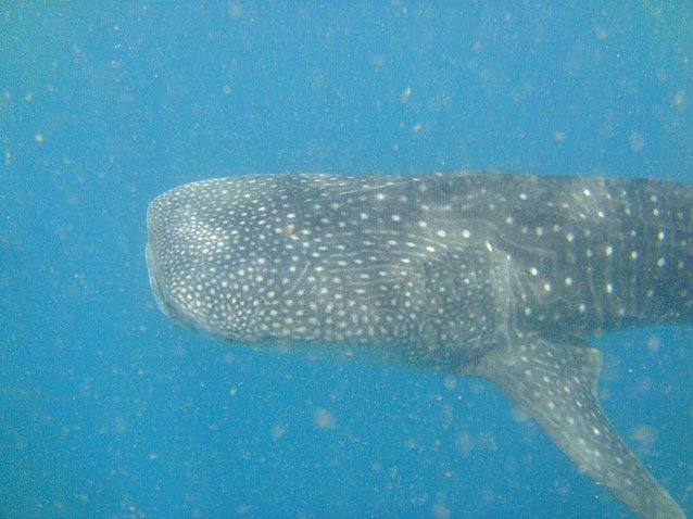 Photo Djibouti whale sharks interesting