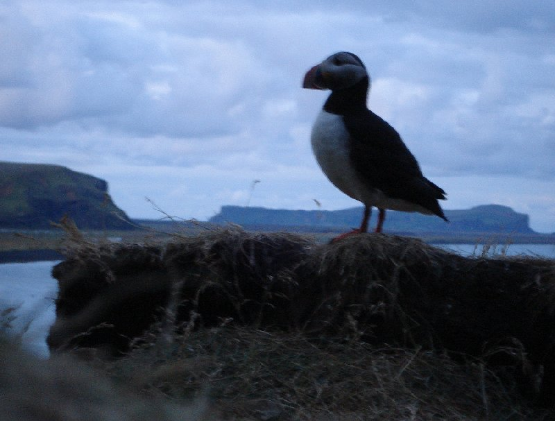 Pictures of puffins in Iceland Vik Vacation Sharing