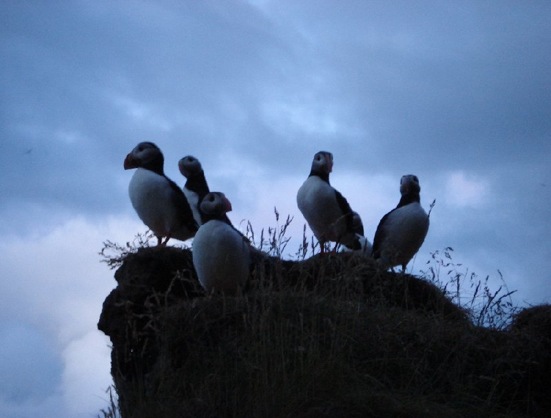 Pictures of puffins in Iceland Vik Review