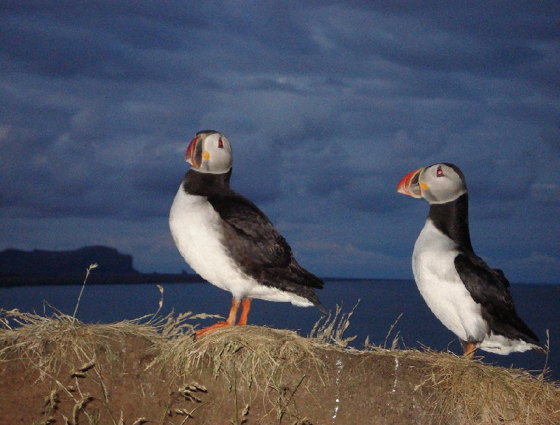 Pictures of puffins in Iceland Vik Blog Photos