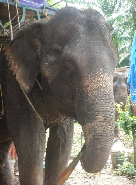Photo Krabi Thailand elephant
